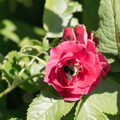 blomsterbi-almindelig
